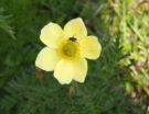 Pulsatilla alpina  sbsq.apiifolia